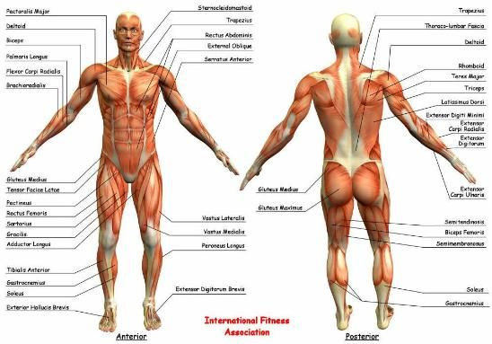 Bodybuilding Anatomy Chart  The Deltoid Muscles Are Located In