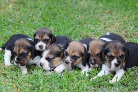 Tri Colour Beagle Puppies Available Beagle Puppy Puppies Beagle