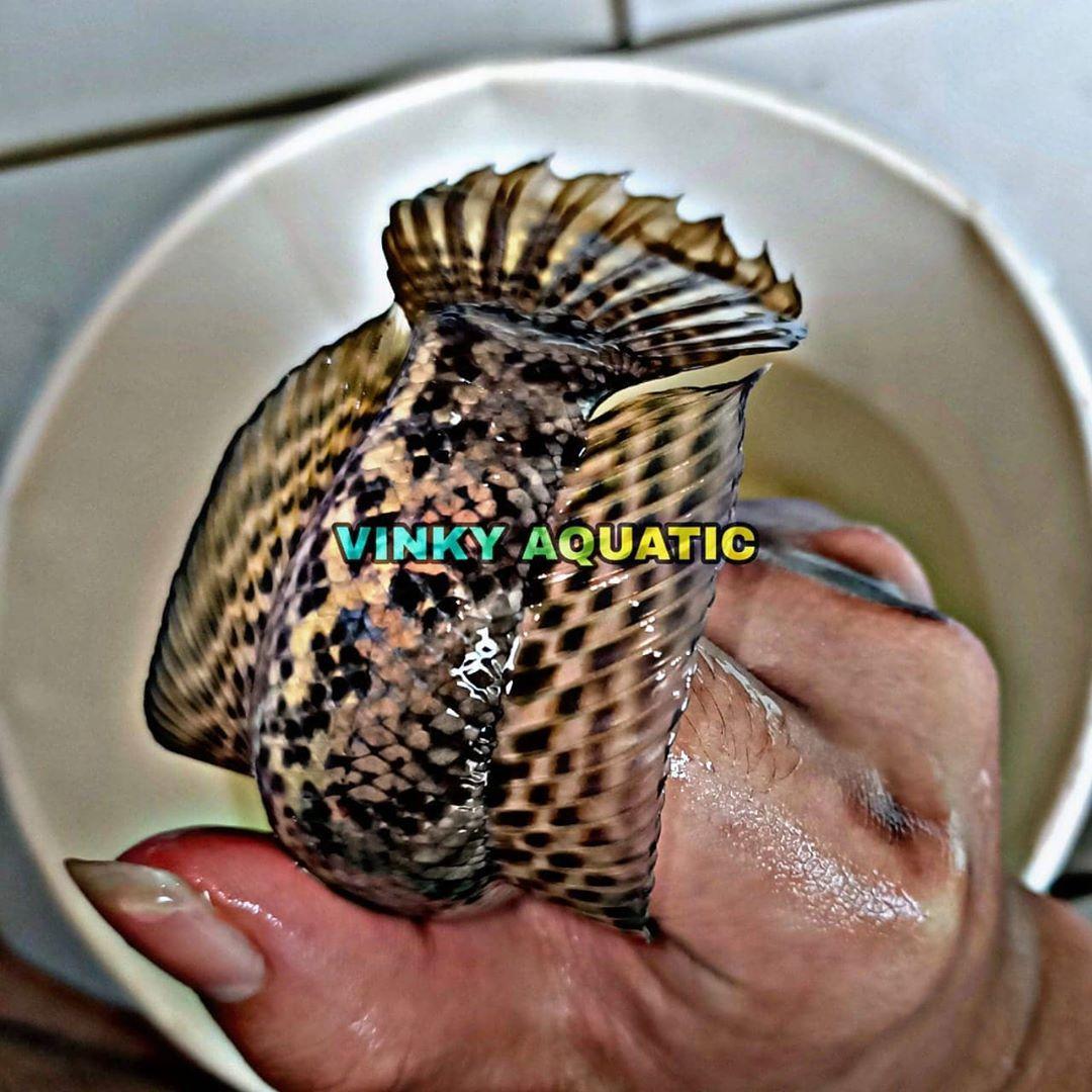 Channa Auranti Ukuran 17 20 Cm Lokasi Toko Pasar Rakyat Cengkareng Toko Ikan Hias Vinky Aquatic Siap Rekber Aman Dan Terpercaya Info L In 2020 Cupang Aquatic Reptiles