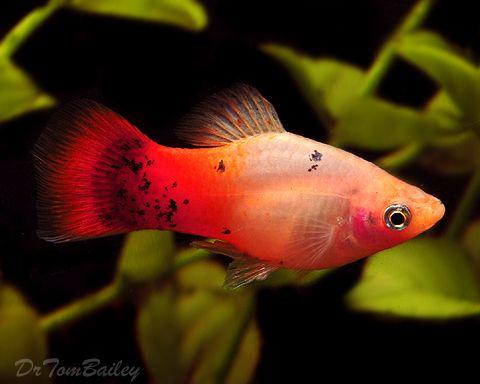 Pink Platy Fish Google Search Aquarium Fish Pet Fish Platy Fish