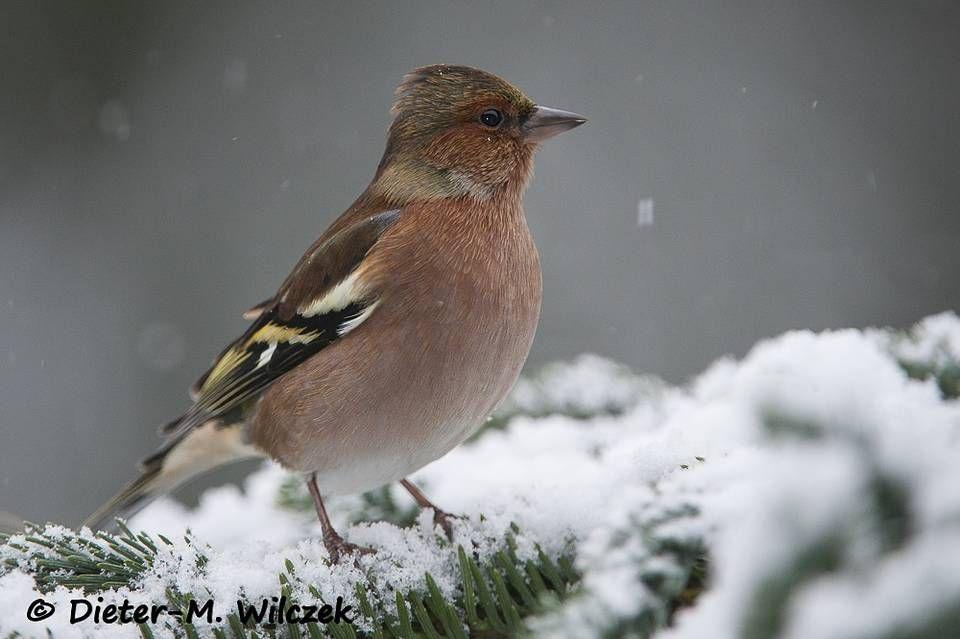 buchfink  chaffinch  buchfink einheimische singvögel