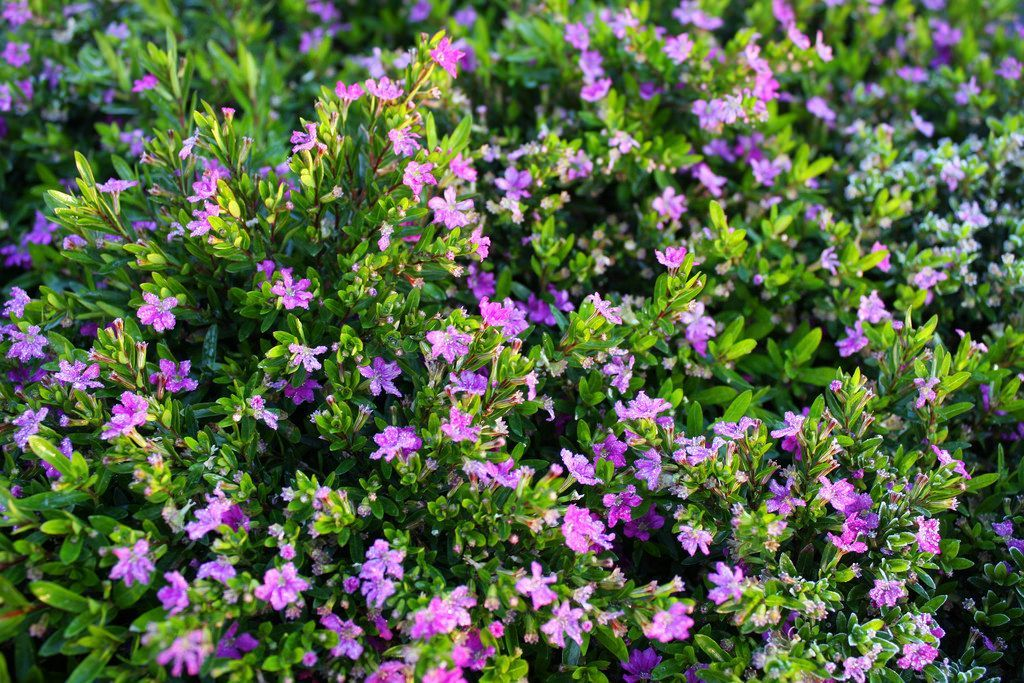 Fast Growing Mexican Heather Plants Heather Plant Plants Garden Plants Vegetable