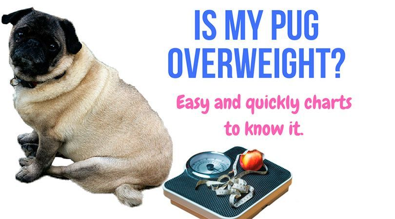 Is My Dog Overweight Easy And Quickly Charts To Know It Pug