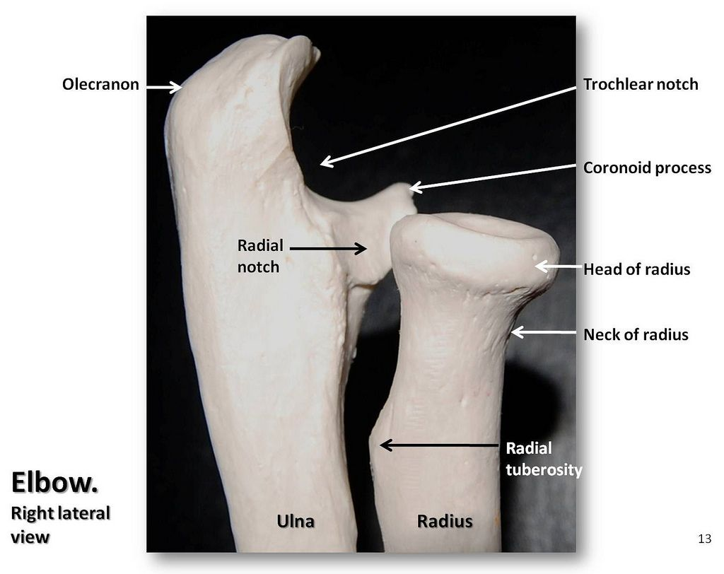 Bones of the elbow, lateral view with labels - Appendicular Skeleton ...