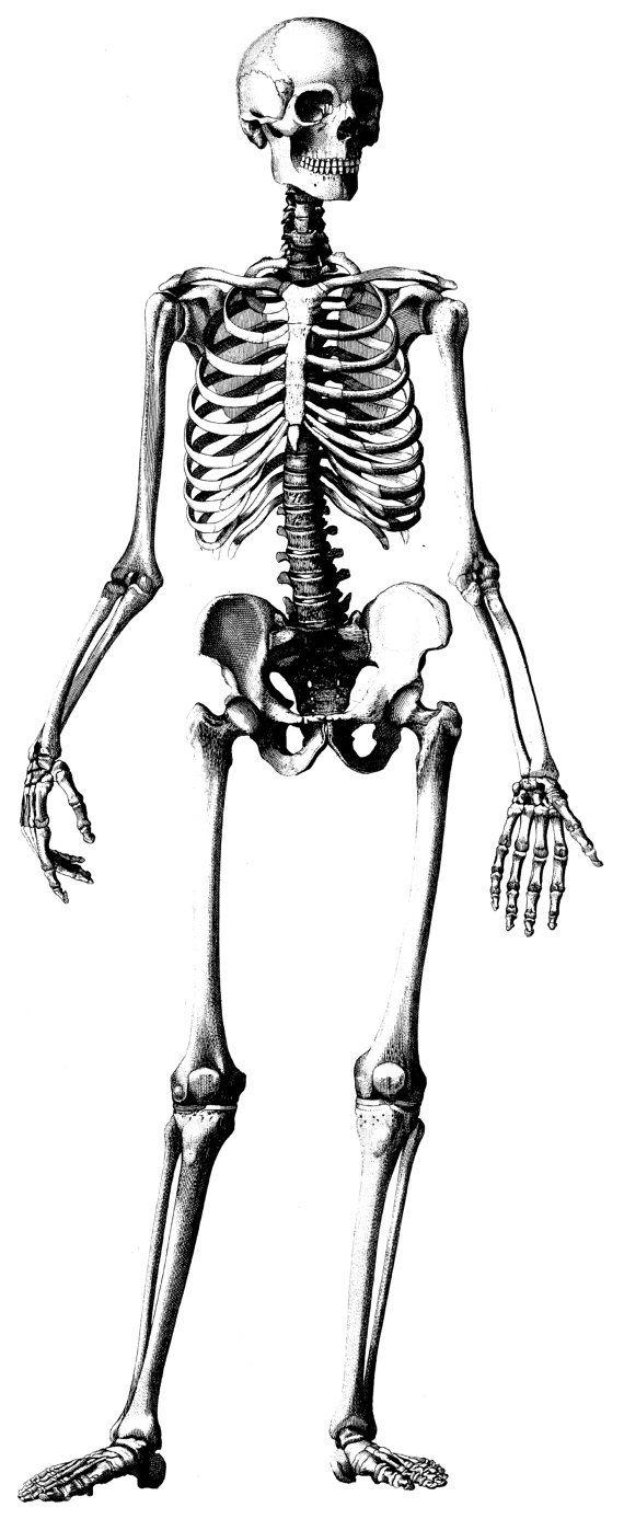 human anatomy, old medical atlas illustration digital image, 02, Skeleton
