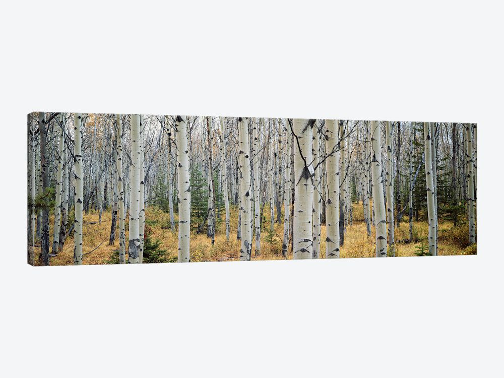 Aspen Trees In A Forest Alberta Canada Canvas Wall Art Icanvas Aspen Trees Panoramic Images Canada Print