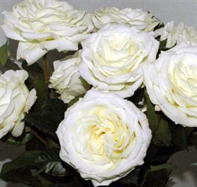 white ohara mayesh wholesale florists - White Garden Rose