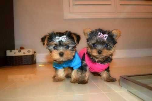 Two Micro Teacup Yorkie Puppies For Adoption Text 202 656 2602 Yorkie Puppy Yorkshire Terrier Puppies Teacup Yorkie