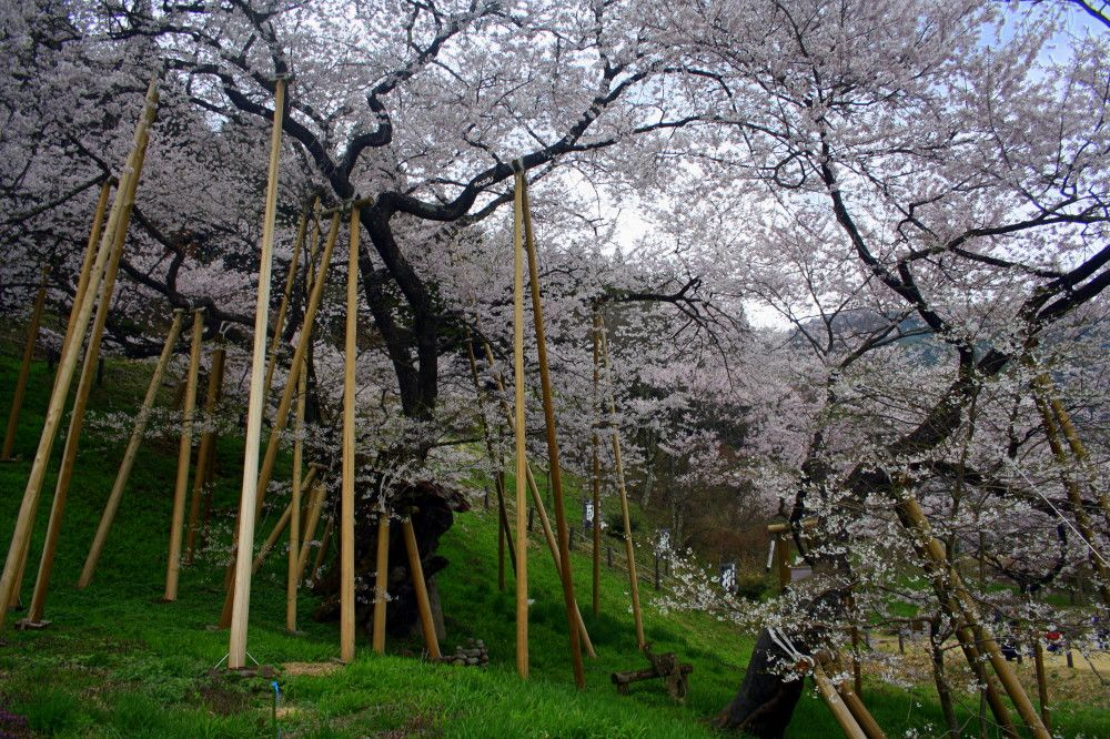 We Couldn T Let Cherry Blossom Season In Takayama Pass By Without Checking Out The Colossal 1000 Ye Cherry Blossom Season Cherry Tree Cherry Blossom