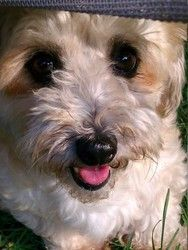 Paige in Ohio is an adopted Havanese Dog in Livonia, MI. Paige is a sweet, happy little girl! She was rescued from a puppy mill where she lived her entire life in a crate and was used for breeding. Sh...