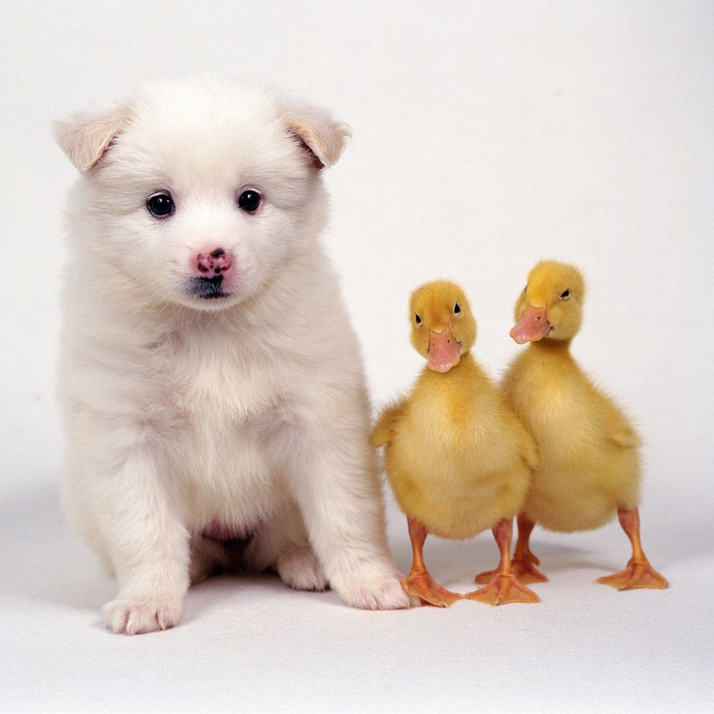 Lovely Puppy Duckies Ipad Wallpapers Cute Animals Funny Animals Cute Puppies