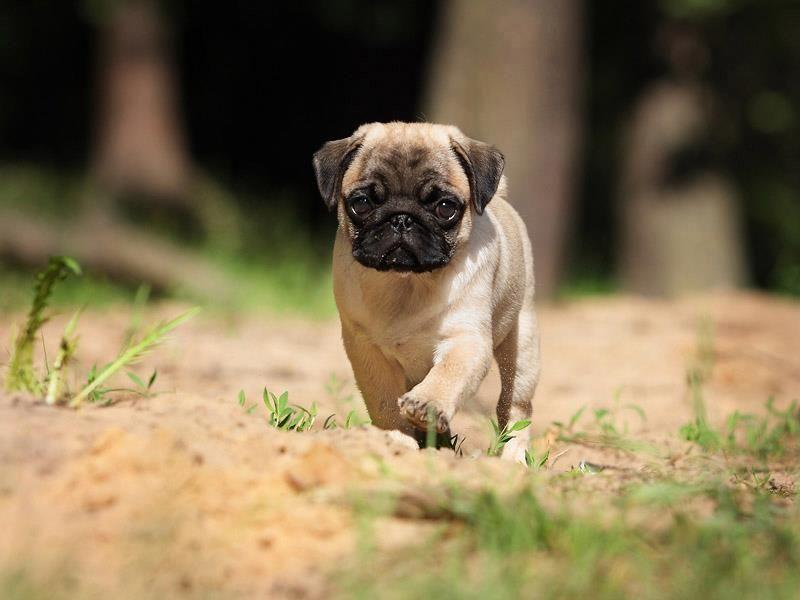 Pug Wallpaper Screensaver Background Cute Puppy Breeds Cute Pugs