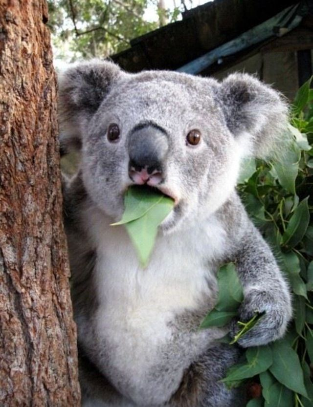 who me? Koalas are certainly in the top ten of most of adorable Endangered species.