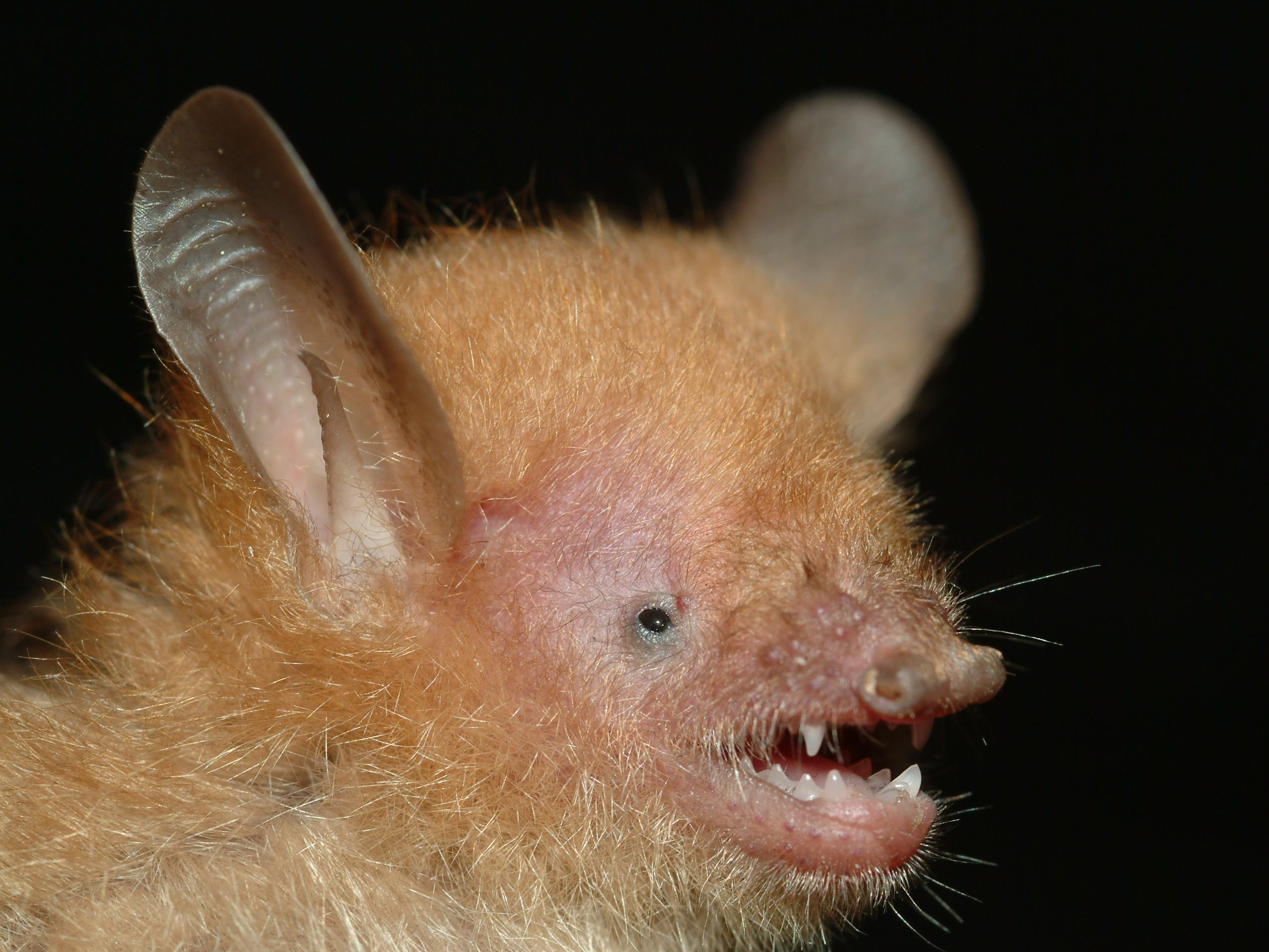 Walston's Tube-Nosed Bat - Murina walstoni - Found in the Greater Mekong region of Southeast Asia, specifically the Dắk Lắk Province of Vietnam and the Koh Kong and Ratanakiri provinces of Cambodia. The Ashy-gray tube-nosed bat and Beelzebub's tube-nosed bat were discovered in 2011, along with this bat - Image : © Gabor Csorba