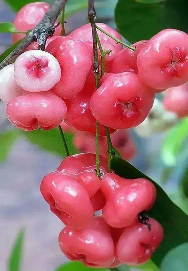 Jaambaa in 2019 Rose apple fruit, Fruit, Apple roses