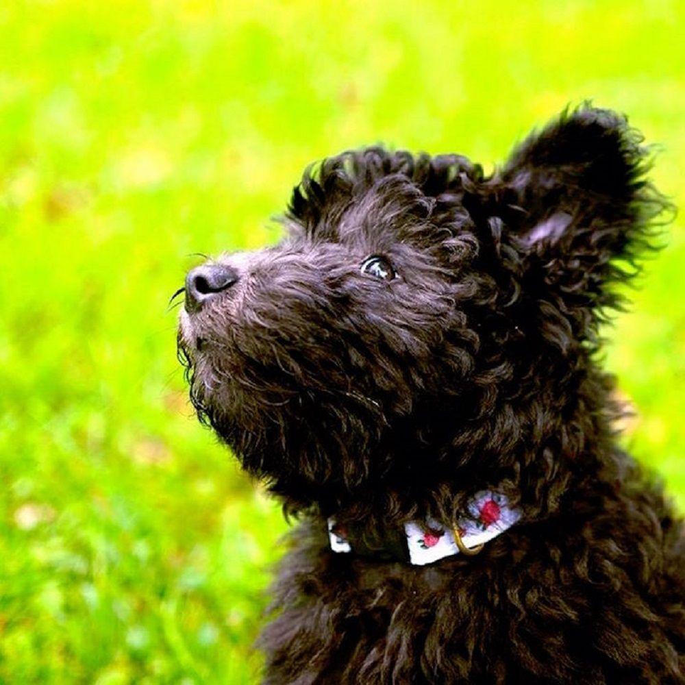 American Kennel Club Presented A New Dog Breed Dog