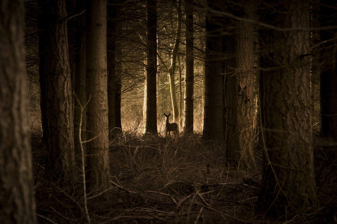 Ghost in the Woods. A fallow deer stands in an evergreen forest in North Leigh, West Oxfordshire, UK.