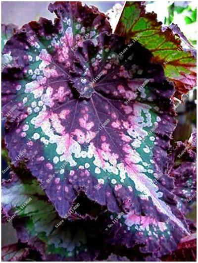 50pcs Beautiful Begonia Flower Seeds Mix Colors Perennial Potted Bonsai Garden