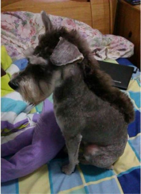 Schnauzer Or Donkey Ruby Will Be Shaved Like This Next Time We