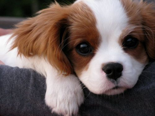 Love Cavalier King Charles spaniels. They perpetually look like puppies! :o)