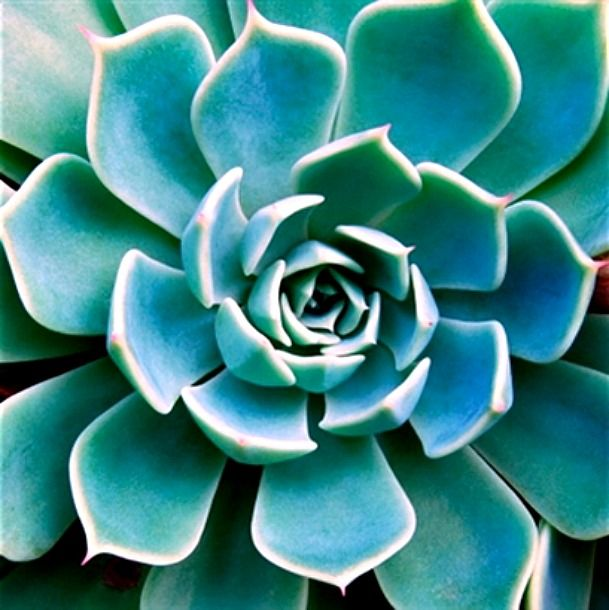 Succulent Echeveria. Photo by Linde Stewart.