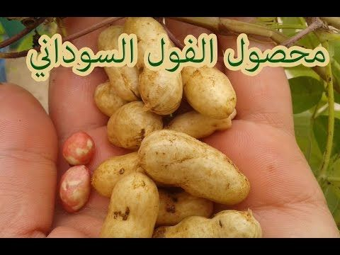 How To Grow Peanuts From Seed Youtube Food Vegetables Seeds