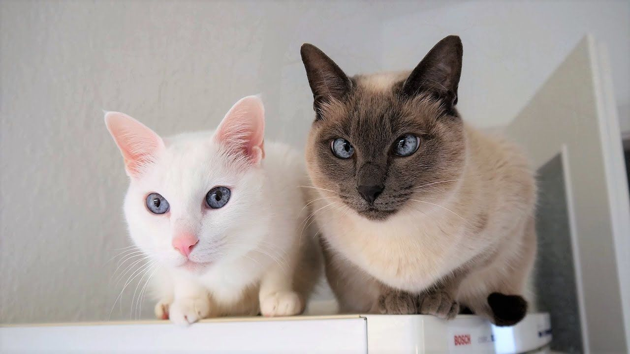Siamese Cat Breed Information Behavior Needs Compatibility Care Hea Siamese Cats Cat Breeds Cats