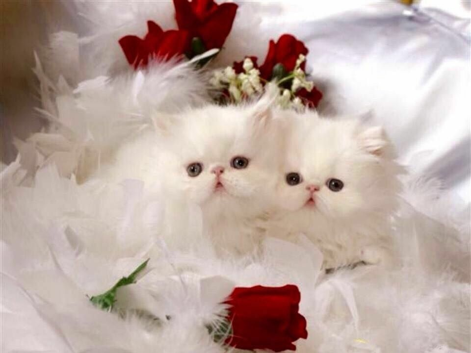 Pin By Eman Al On Cat Dogs Persian Kittens White Persian Kittens