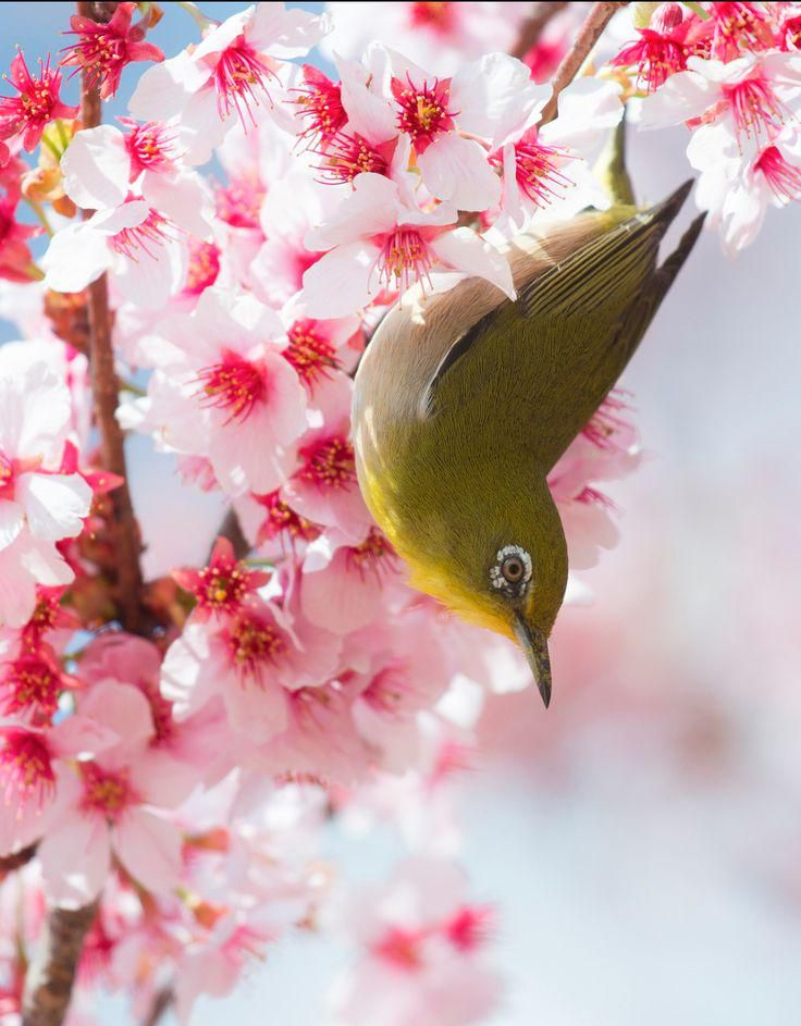White-Eye & Spring blossoms.