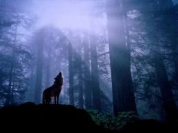 California Gray Wolf might get state protections - News - Bubblews