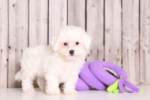 Poochon Puppy For Sale In Mount Vernon Oh Adn 33355 On Puppyfinder Com Gender Female Age 8 Weeks Old With Images Poochon Puppies Puppies For Sale Puppies