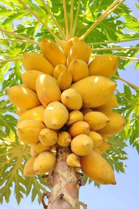 Saquito On Twitter Papaya Tree Fruit Tropical Fruits
