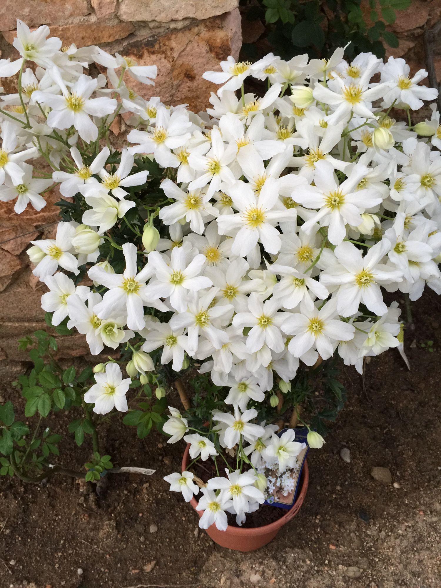 Beautiful bloom clematis Cartmanii'Avalanche' land 1988.com