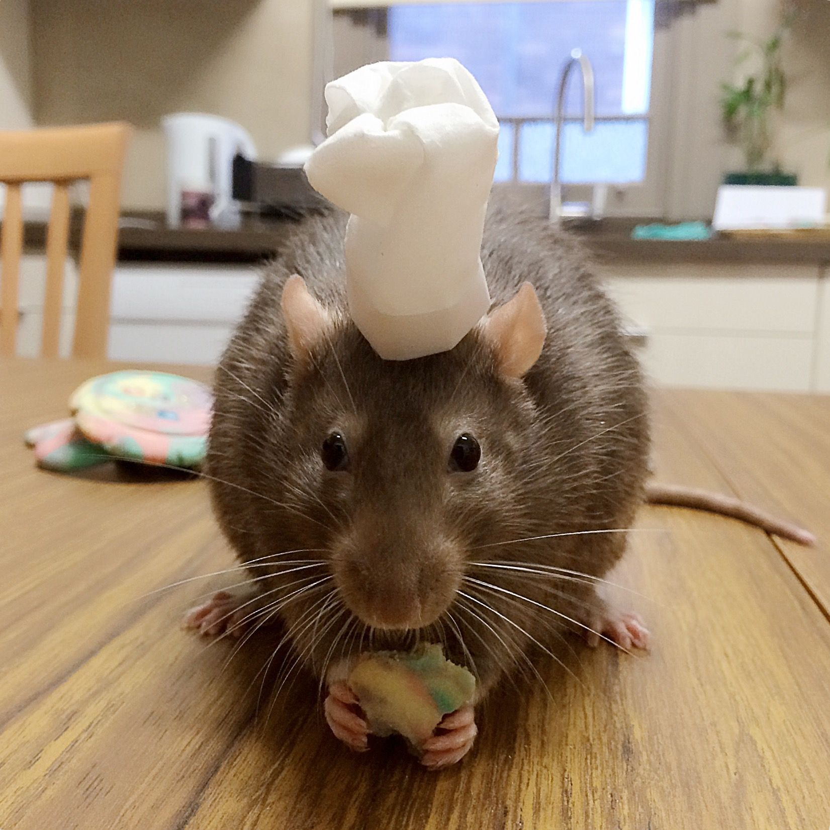 My Pet Rat Tate Helping Me Bake Cookies In His Chef Hat Pet Rats Pets Animals