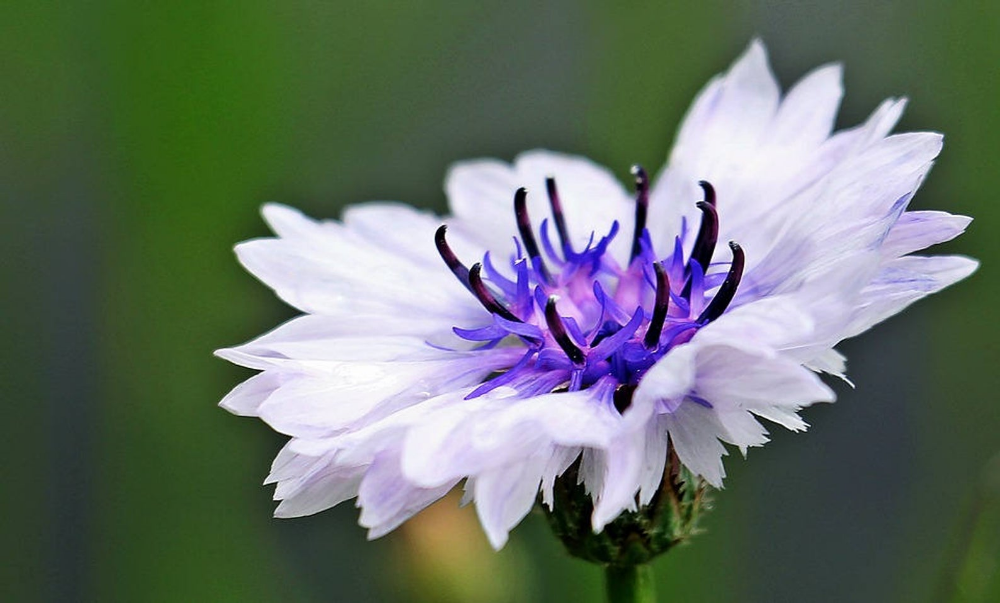 750 White Bachelor S Button Cornflower Centaurea Cyanus Etsy Bachelor Button Flowers Bachelor Buttons Cornflower