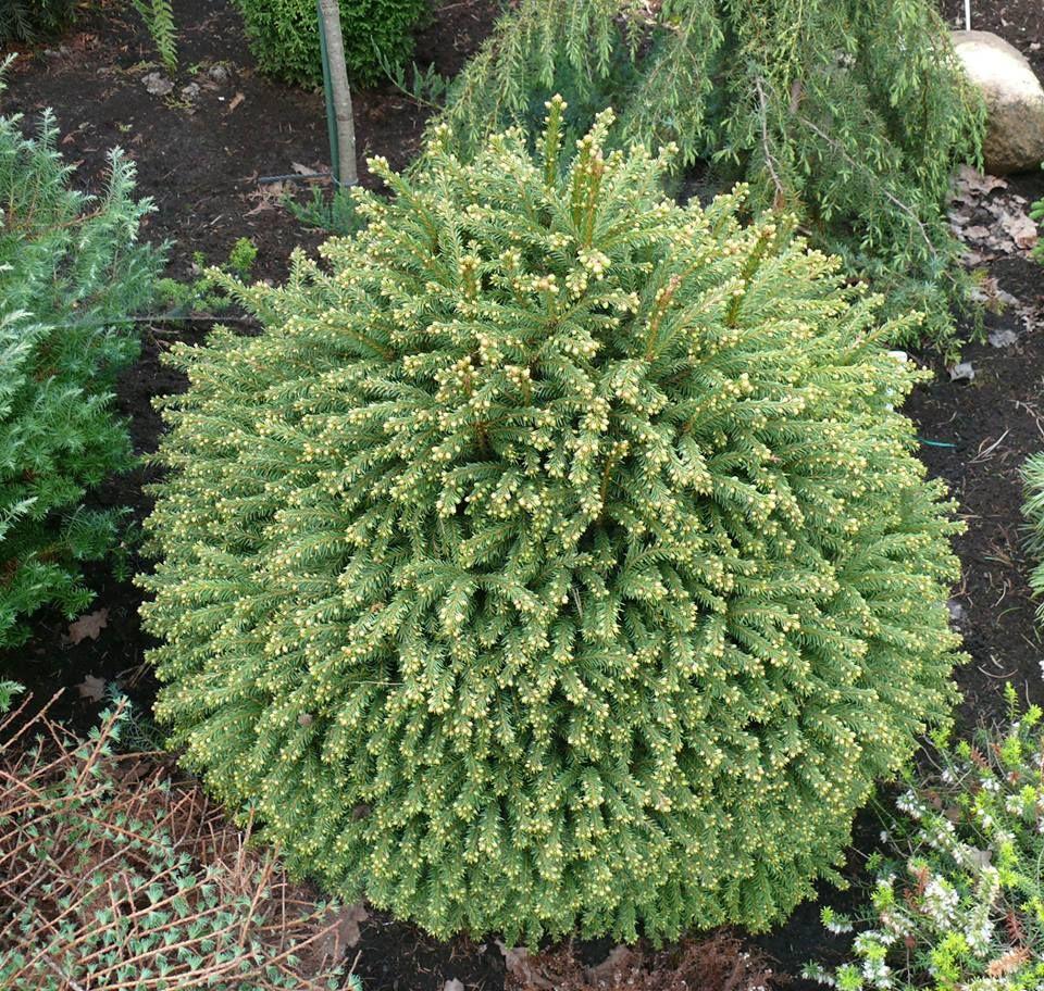 Picea abies Luua Pеrl сад хвойные Pinterest