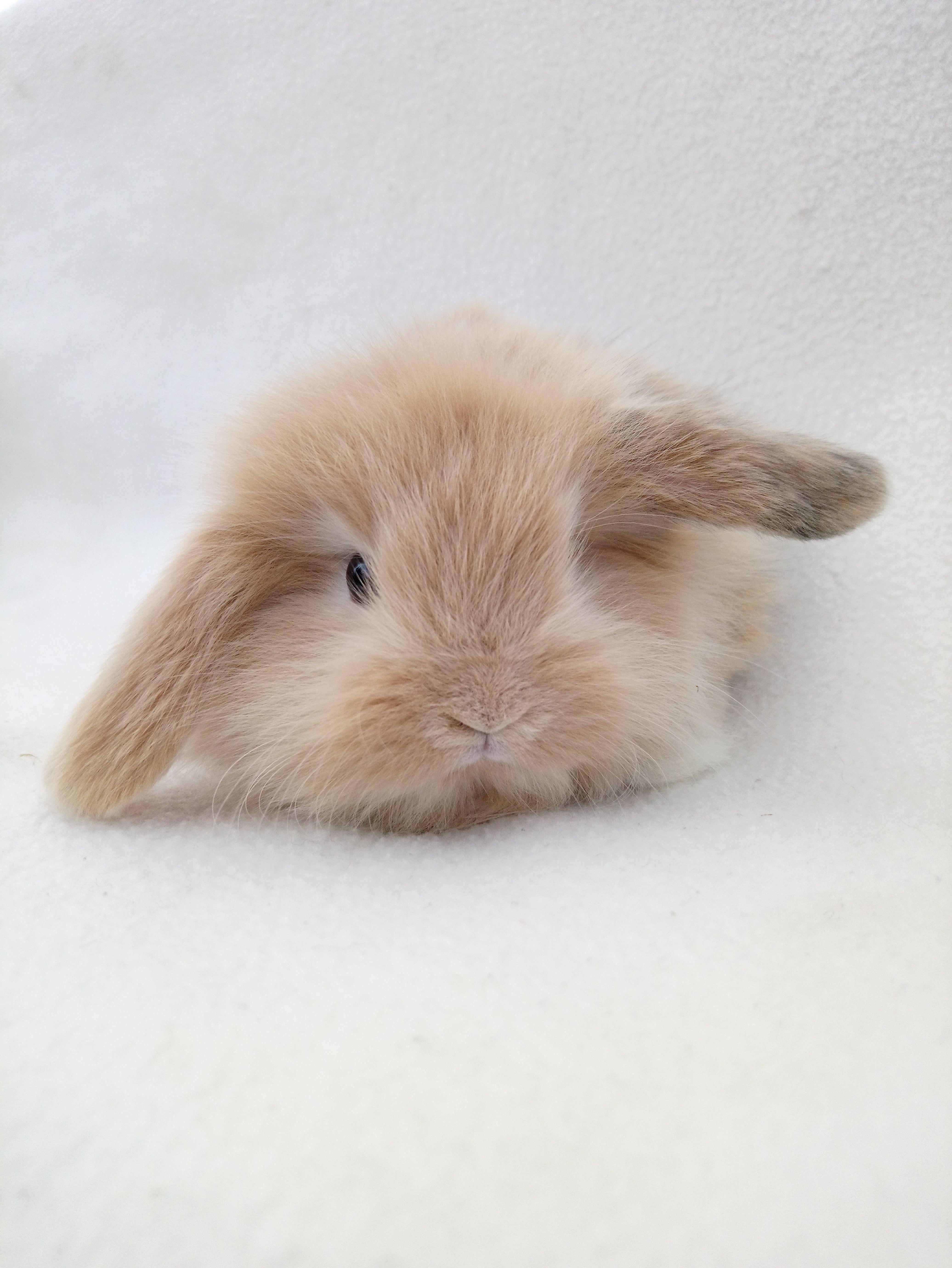 Bébé lapin nain de chez Boules de Poils et Cie
