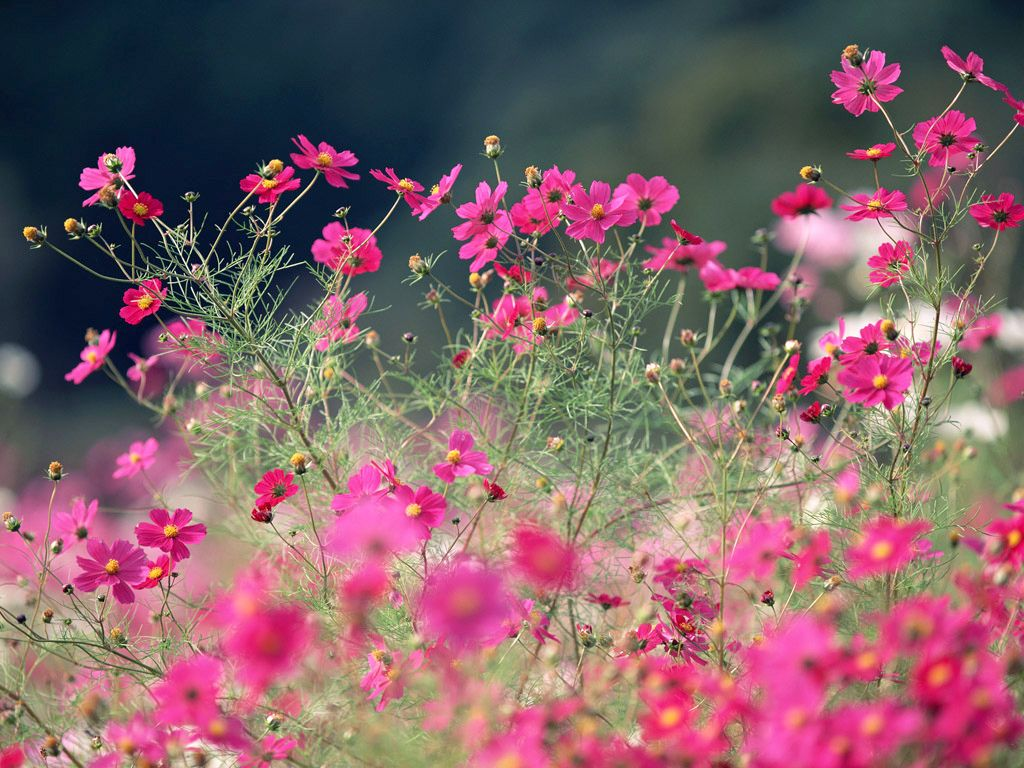Field Of Cosmos Flowers Cosmos Flower Pictures Nothing But Flowers Summer Flowers