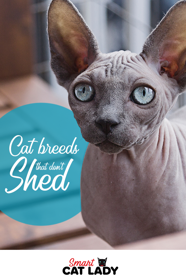 10 Cat Breeds That Don't Shed in 2020 Cat breeds, Cat