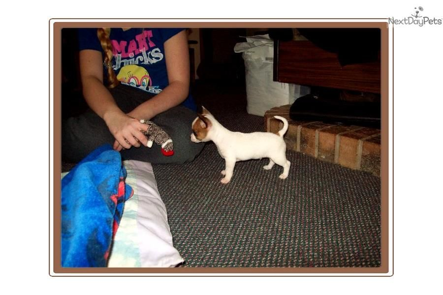 Chihuahua Puppy For Sale Near Kirksville Missouri E2267066 Ed51