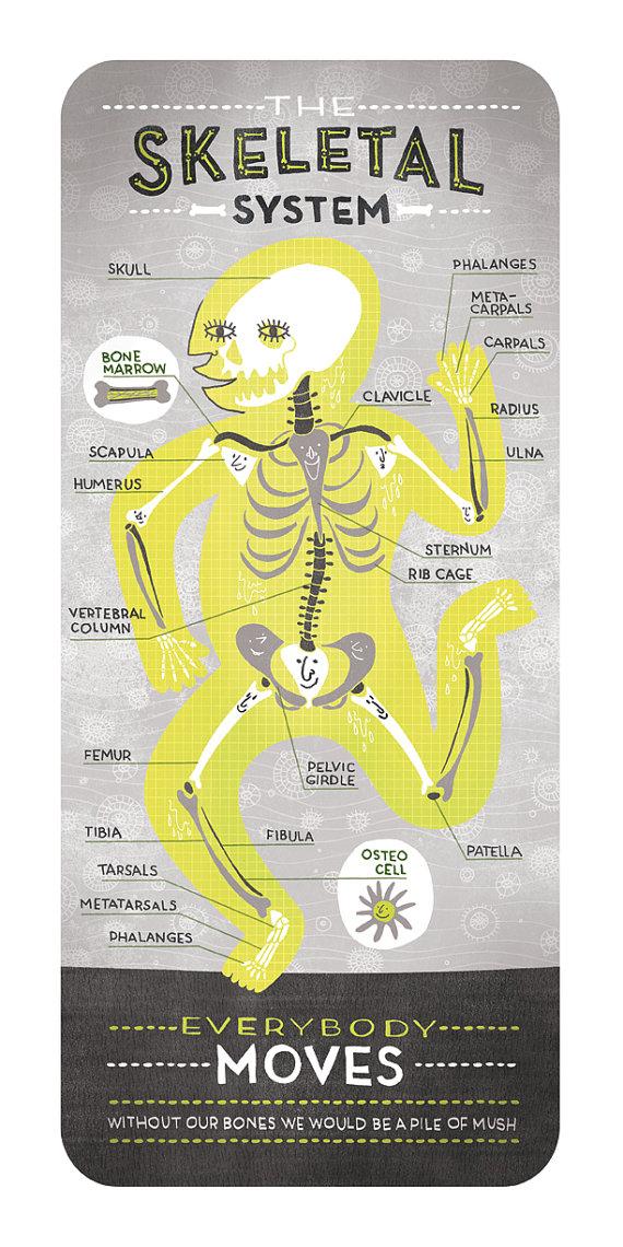 Das Skelettsystem: Anatomie-Print | Illustration | Pinterest ...