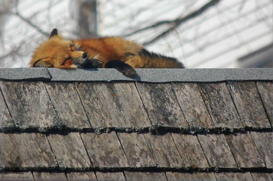 Foxes in the backyard, by Jon Wedge | Fox, Animal antics ...