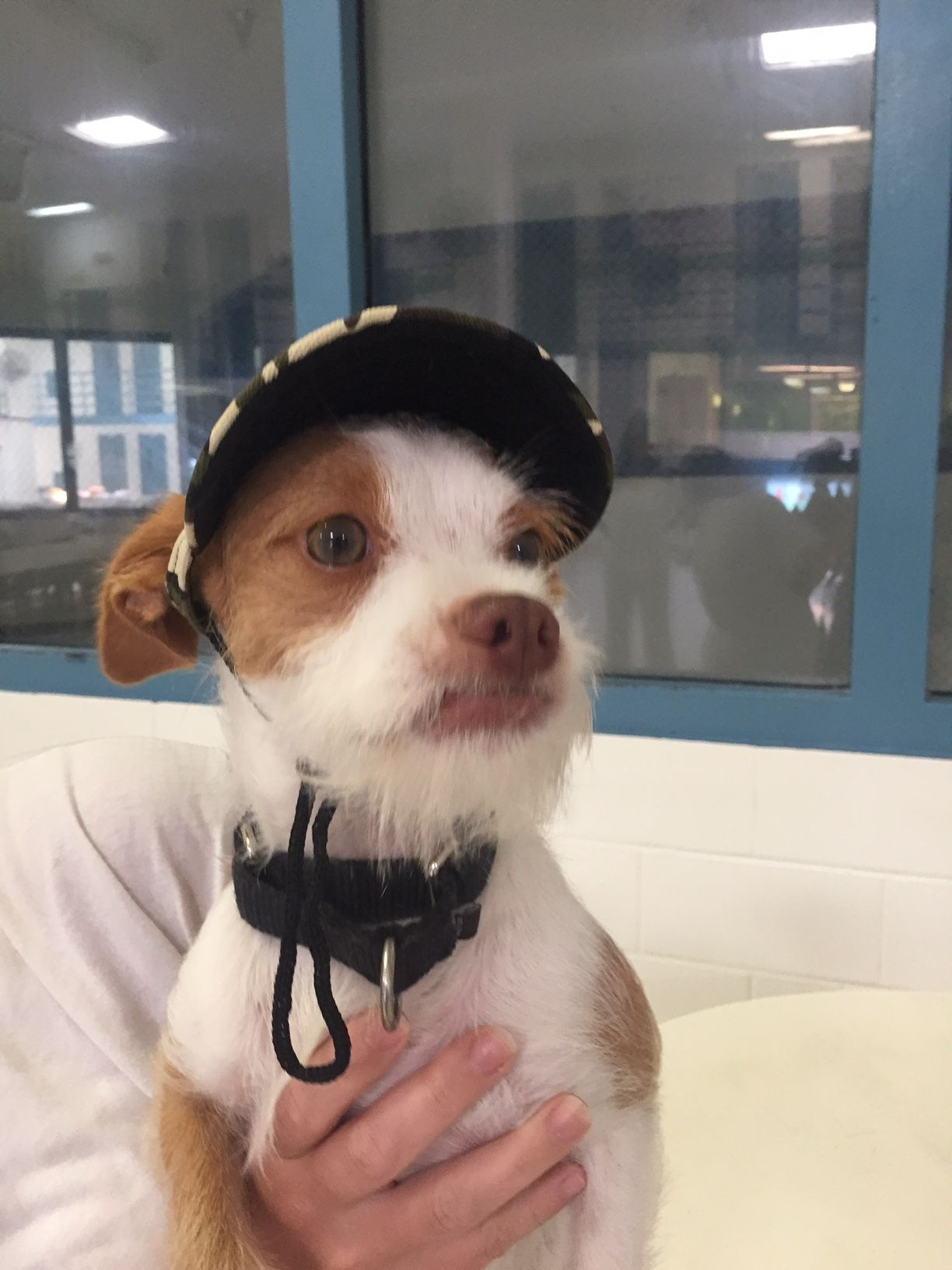 Adopt Jerry Lee Bubba On Terrier Terrier Mix Pet Finder