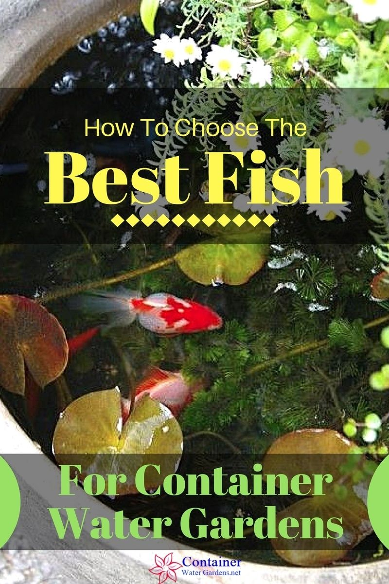 Fish For Container Water Gardens Container Water Gardens Container Water Gardens Small Water Gardens Water Garden
