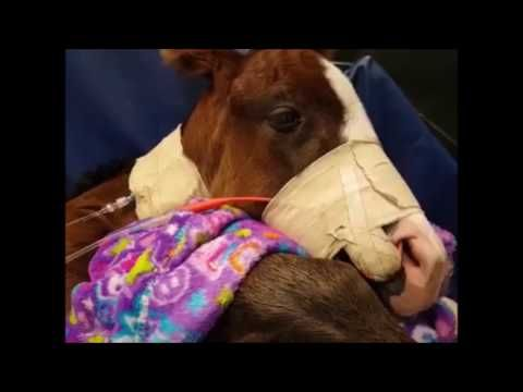Belle Surgery/ Surgery in Foals