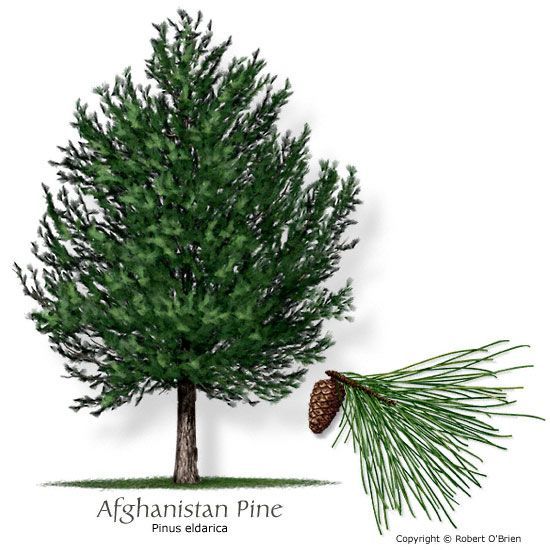 Afghanistan pine drought tolerant and grasshopper resistant afghanistan pine drought tolerant and grasshopper resistant service treetexas plantsdeer resistant plantsevergreen treeswest sciox Choice Image