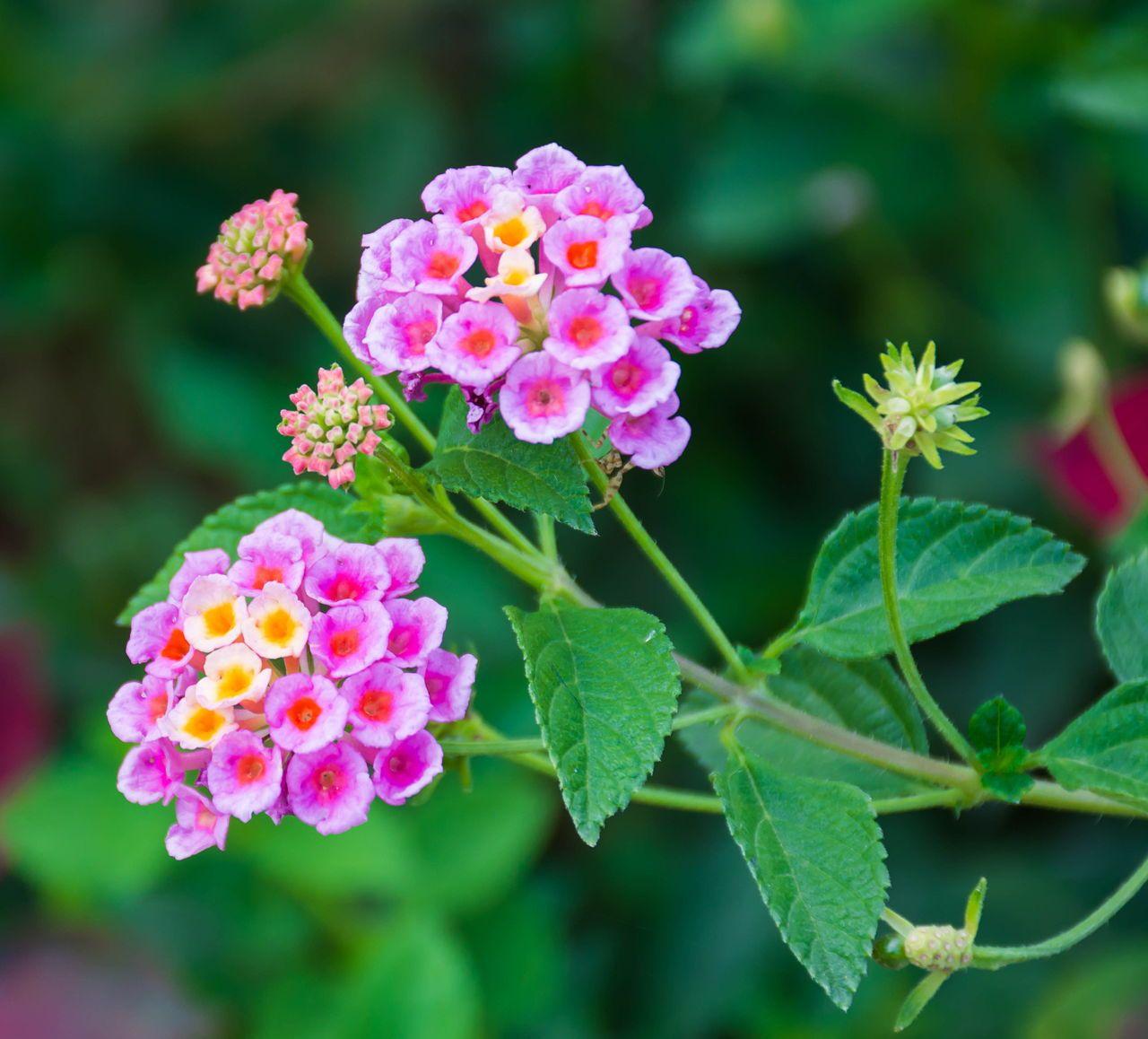 Lantana camara flower flower names tropical flowers