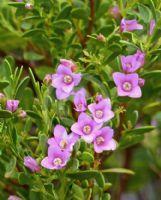"Boronia crenulata ""Pink Passion"""