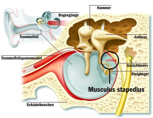 Stapedius muscle
