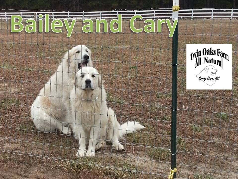 Baily Cary Great Pyrenees Dog Great Pyrenees Long Haired